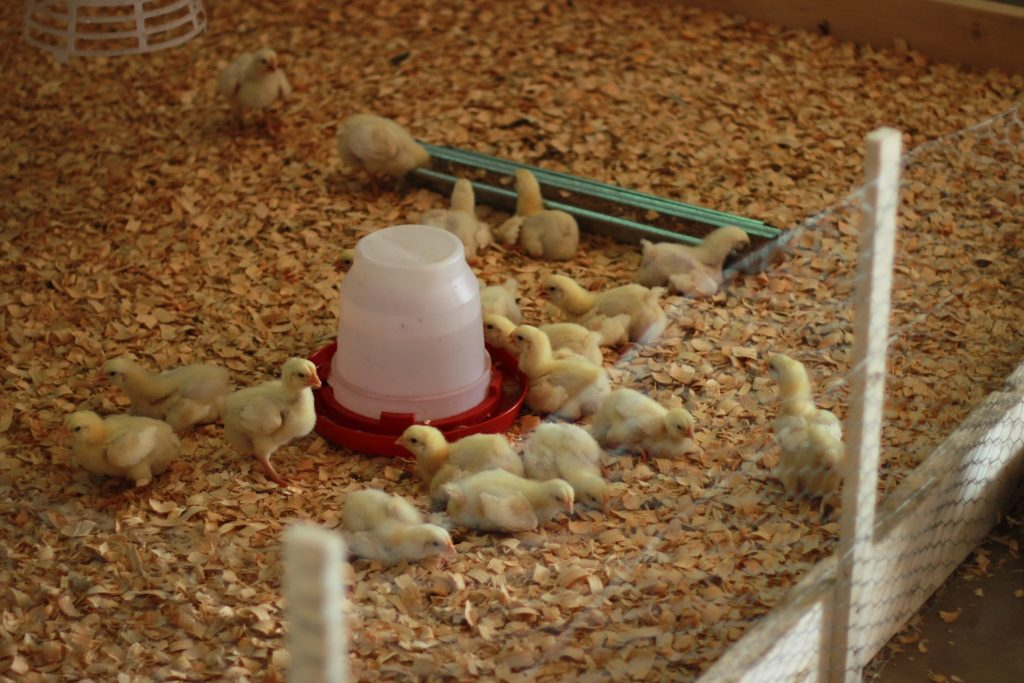 Baby Chicks in the Thom Building